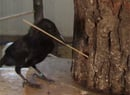 The New Caledonia Crow Is No 'Bird Brain'