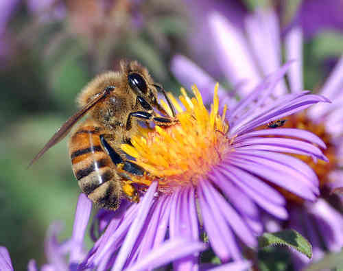 The Mystery Of The Vanishing Honeybees