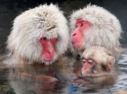 Japanese snow monkeys beat the chill by soaking in hot springs