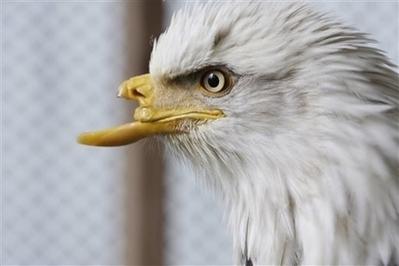 Beauty the Bald Eagle to Receive a New Beak