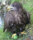 White-Tailed Eagle Plays Fetch
