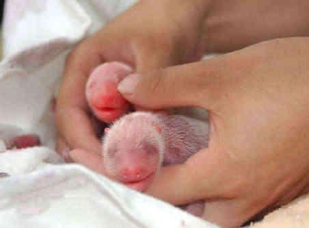 Panda Twins Celebrate 100th Day