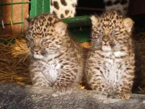 Rare Leopard Cubs Born In Captivity
