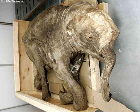 Lyuba - The 42,000 Year-Old Baby Mammoth
