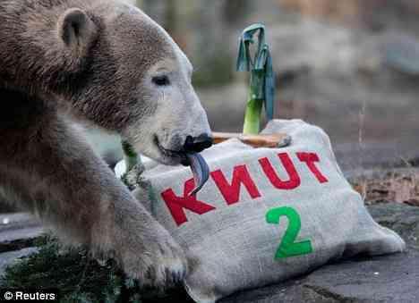 Knut - the Movie Star!