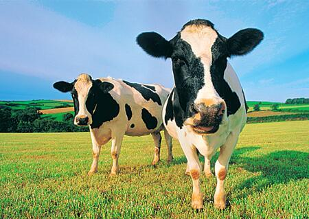Cow Power - The new renewable energy source!