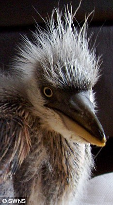 Orphaned Heron Learns To Fly