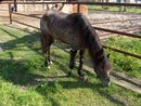 Molly - The Incredible New Orleans Pony