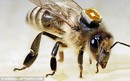 Honeybees Fitted With Microchips To Solve Mystery