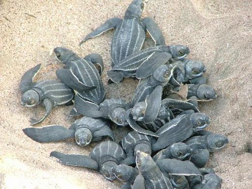 The Great Leatherback Sea Turtle Race