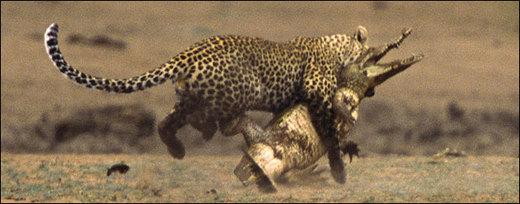 The Leopard Vs. The Crocodile