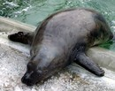 The Arctic Seal Who Is Afraid Of Ice