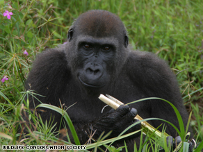 Thousands of Endangered Gorillas Found In Africa