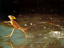 This Lizard Runs On Water - Really!