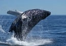 Humpback Whale's Record Breaking Migration