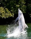 Talented Dolphin Teaches Others To 'Tail Walk' In The Wild