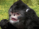 New Species Of 'Sneezing Monkey' Discovered!