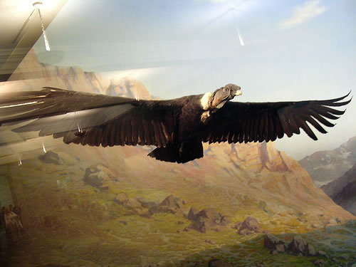 Largest flying bird in the world andean condor - photo#9