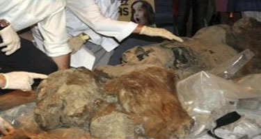 Siberian Baby Mammoth Heads To France