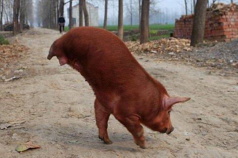 Video Of The Week - The Pig Gymnast