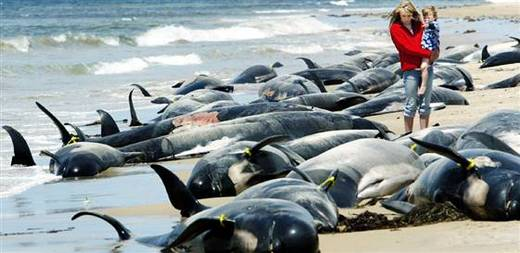 New Zealands Struggle To Save Beached Whales Ends With Mixed
