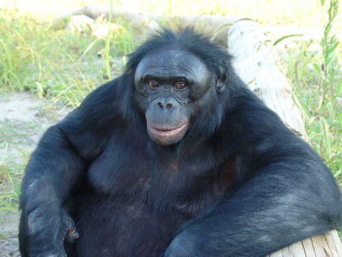 kanzi the world 39 s smartest ape kids news article. Black Bedroom Furniture Sets. Home Design Ideas