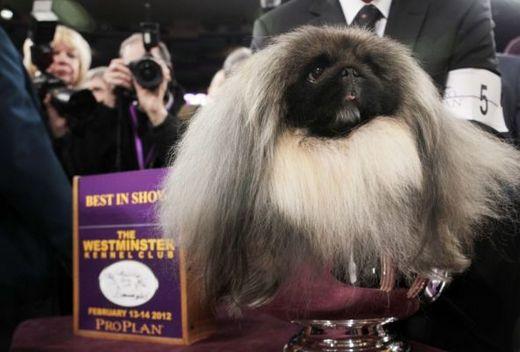 4-Year Old Pekingese Retires After Winning America's Most Prestigious Dog Show